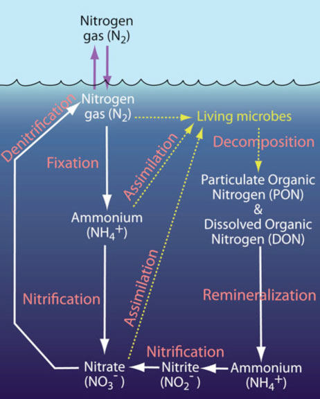 nitrogen fixation converts nitrogen gas to
